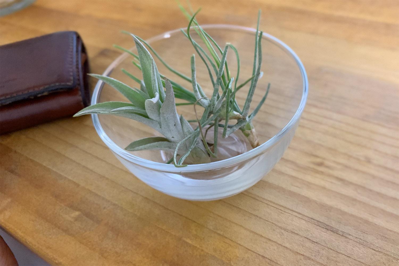 エアープランツという植物を部屋に飾ってみる